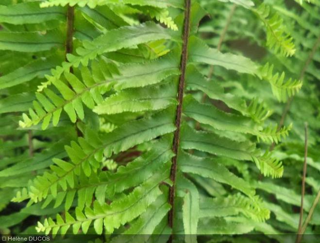 Nephrolepis cordifolia  'Plumosa'