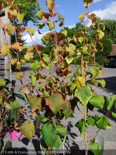 Acer capillipes  'Antoine'