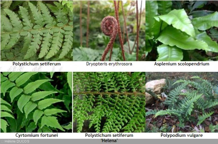 Lot 6 Fougères Persistantes . Dryopteris, Polystichum, Cyrtomium