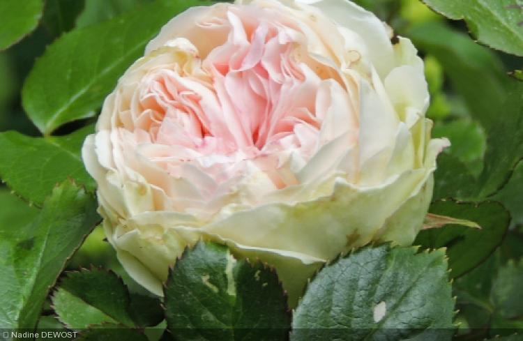 Rosa  'Palais Royal®Meiviowit'