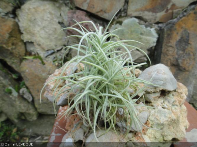 Tillandsia marconae