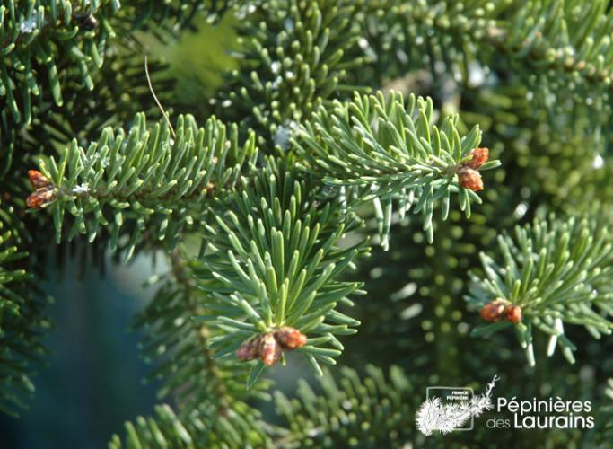 abies cephalonica 39 meyer 39 s dwarf 39 sapins. Black Bedroom Furniture Sets. Home Design Ideas