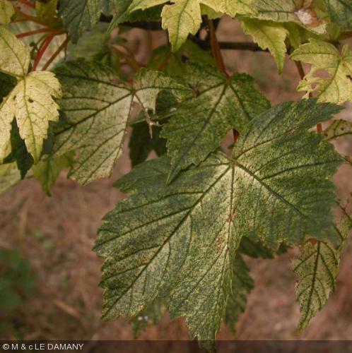 Acer pseudoplatanus  'Brillantissimum'