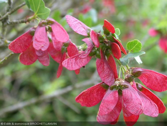 Acer sempervirens