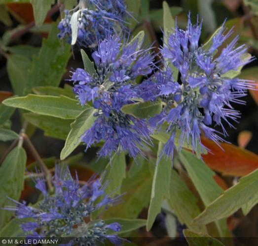 caryopteris x clandonensis 39 heavenly blue 39 barbe bleue. Black Bedroom Furniture Sets. Home Design Ideas