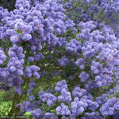 ceanothus 39 concha 39 lilas de californie ceanothes. Black Bedroom Furniture Sets. Home Design Ideas
