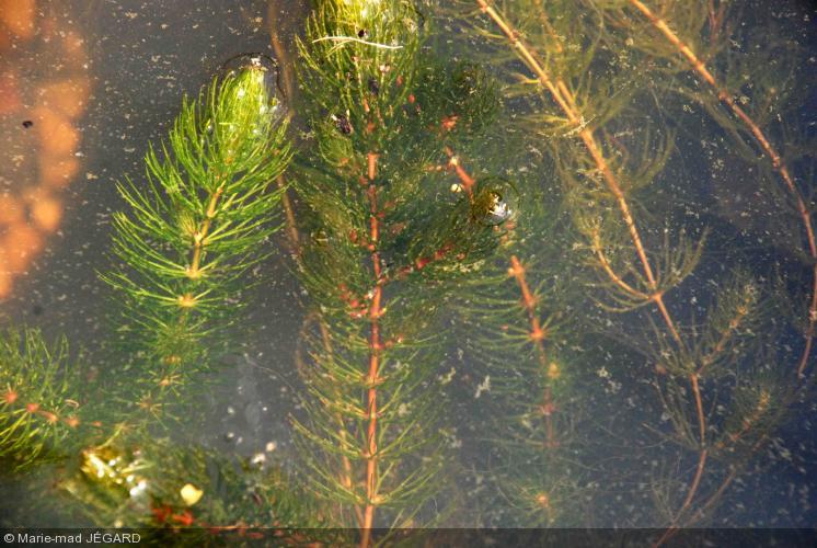 Ceratophyllum demersum cornifle nageante achat vente le jardin d 39 eau - Bassin plantes oxygenantes besancon ...