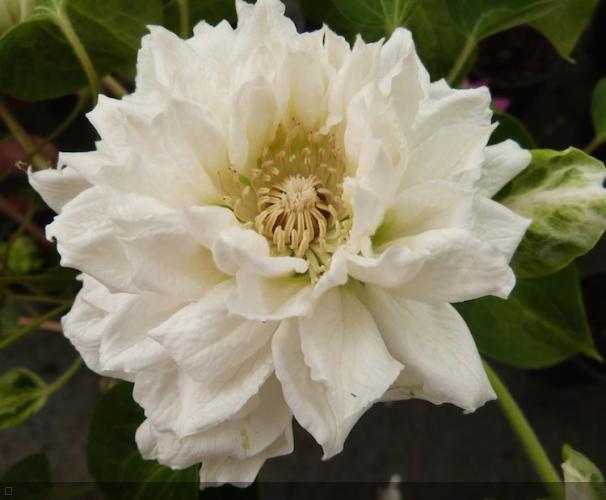 Clematis  'Duchess Of Edinburgh'
