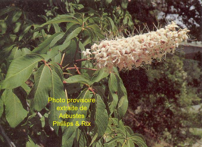 Aesculus californica