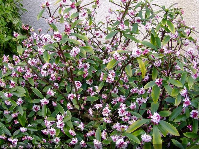 Daphne odora 39 aureomarginata 39 daphn parfum e bois for Arbuste daphne odora aureomarginata