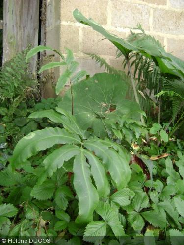 Dryopteris sieboldii achat vente foug res d 39 ici et d 39 ailleurs for Achat plante exterieur