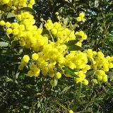 Acacia amoena