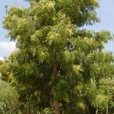 Acacia elata