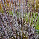 Salix daphnoides  'Pulchra Ruberrima'