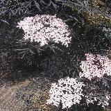 Sambucus nigra  'Black Lace'®'