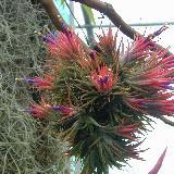 Tillandsia ionantha  'Mexico'
