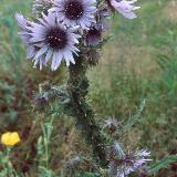 Berkheya purpurea