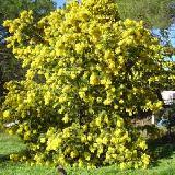 Acacia baileyana  'Maréchal Joffre'