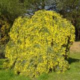 Acacia dealbata  'Pendula'