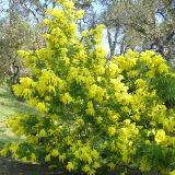 Acacia dealbata  'Gaulois'