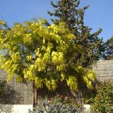 Acacia howittii  'Clair De Lune'