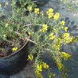 Acacia declinata
