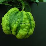 Citrus aurantium  'Bizzaria'