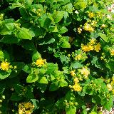 Hypericum x inodorum  'Lime light'