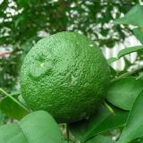 Citrus junos  'Yuzu'