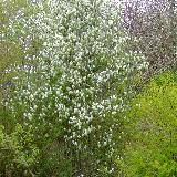 Amelanchier  'Viridiflora'