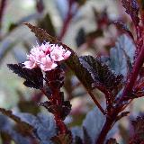 Physocarpus opulifolius  'Little Devil' ®'