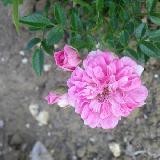 Rosa  'Suma'