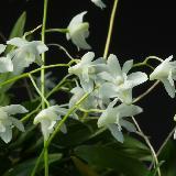 Dendrobium kingianum var. album