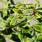 Abelia grandiflora  'Sunshine Daydream'®'