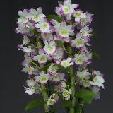Dendrobium  'Spring Dream 'Kumiko'
