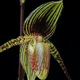 Paphiopedilum  'Wössner Black Wings'