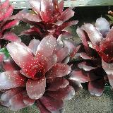 Neoregelia 'Royal Burgundy'