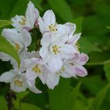 Deutzia x rosea  'Floribunda'