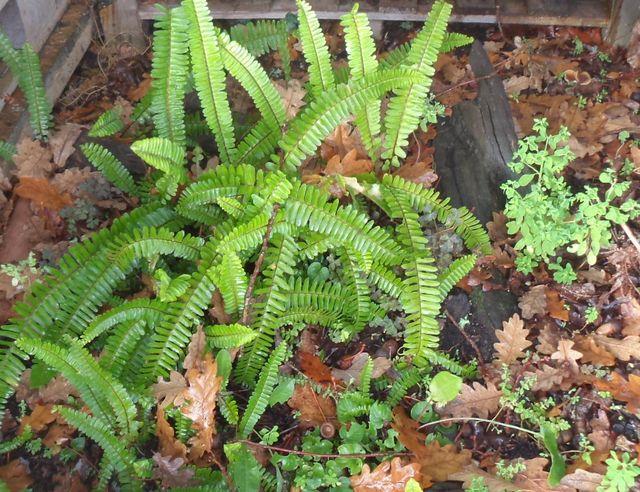 nephrolepis cordifolia plante d 39 int rieur et d 39 ext rieur. Black Bedroom Furniture Sets. Home Design Ideas
