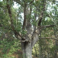 Quercus faginea