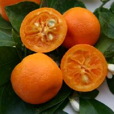 Citrus madurensis