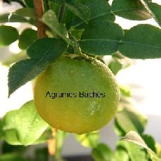 Citrus ichangensis  'Ichang Papeda Anthocyanné'