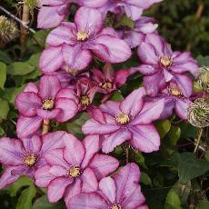 Clematis  'Paradiso ® Zo 11154'