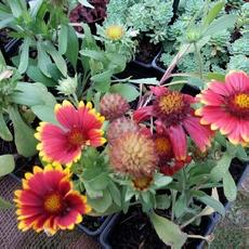 Gaillardia x grandiflora  'Arizona Red Shades'