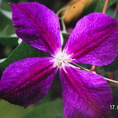 Clematis  'Star Of India'