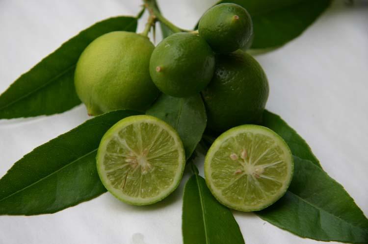 citrus aurantifolia 39 mexicaine 39 lime citronnier vert. Black Bedroom Furniture Sets. Home Design Ideas