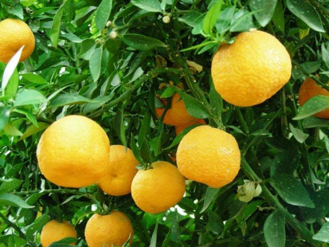 Citrus aurantium 'Myrtifolia macrophylla' - Cítricos: Naranja agria, Naranja amarga, China