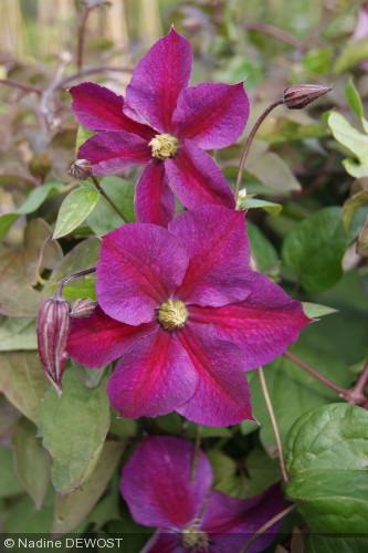 Clematis  'Star of Pakistan' ®Zostapa'