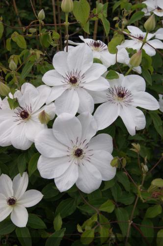 Clematis  'White Pearl ®Zo 0808'