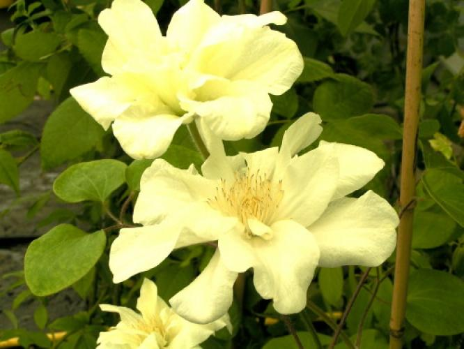 Clematis  'Guerney Cream'